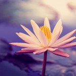 bigstock-Lotus-669449351